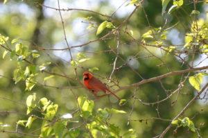 cardinal-in-tree-300x199.jpg