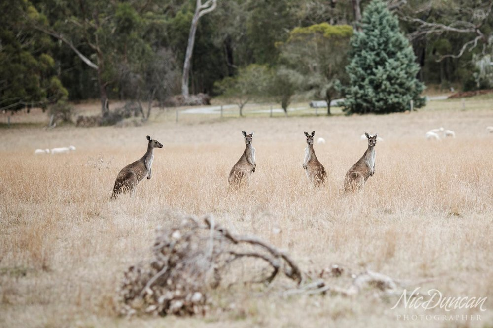 Kangaroos in the paddock