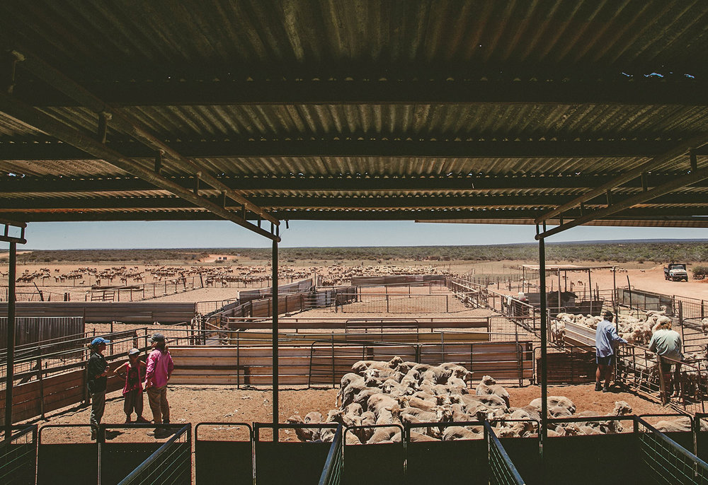 Shearing time at Warroora Station, outback Australia