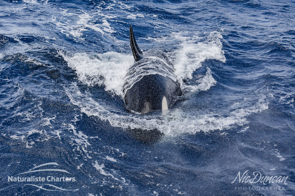 Killer whale at the Bremer Canyon coming towards the Naturaliste Charters vessel