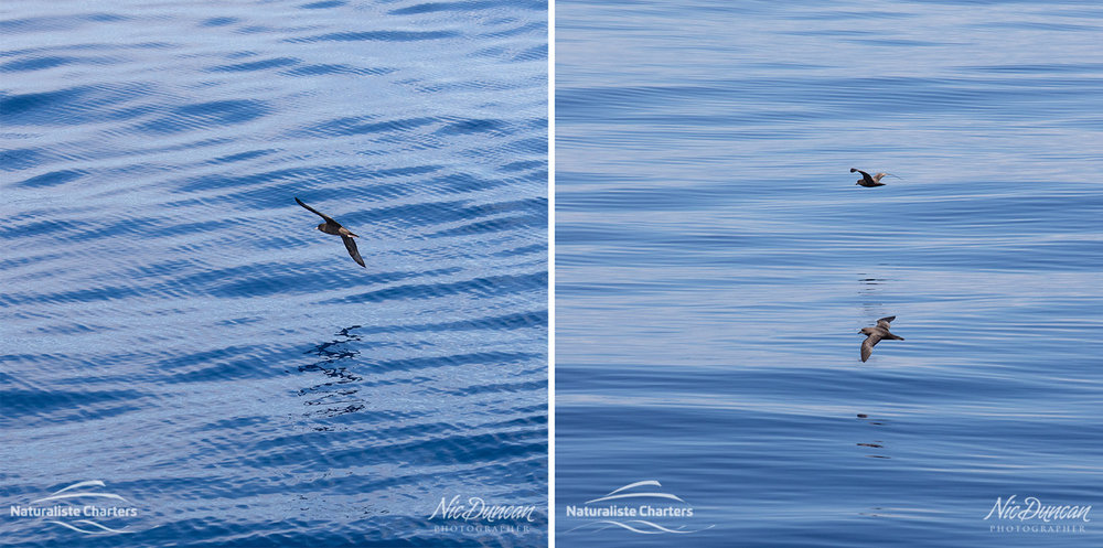 Seabirds and patterns on the surface of an unusually calm Southern Ocean of the coast of Bremer Bay Western Australia