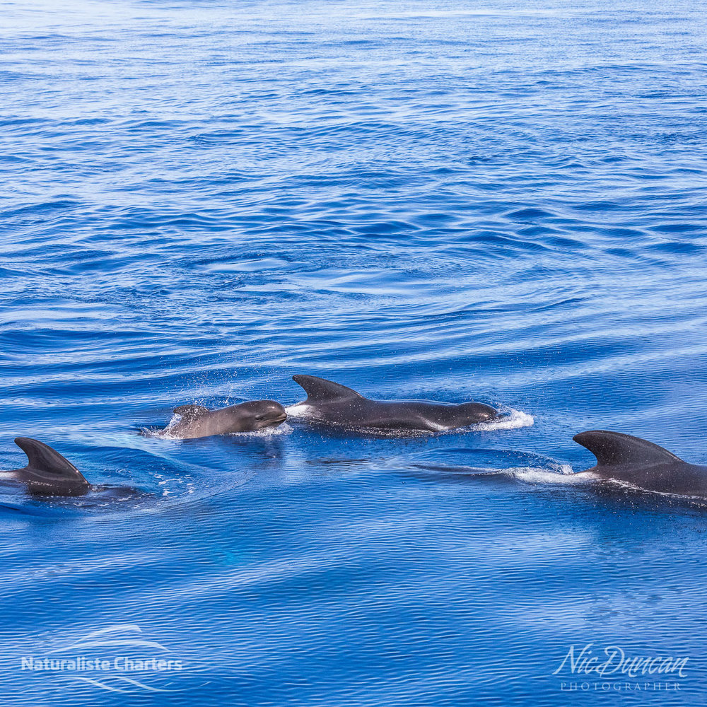 A pod of long finned pilot whales (the second largest species of dolphin). How cute is the calf!