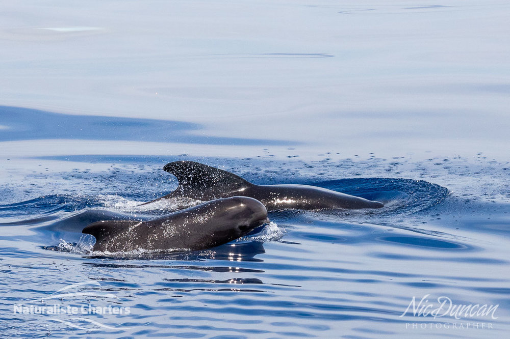 Long finned pilot whales - mother and calf at the Bremer Canyon