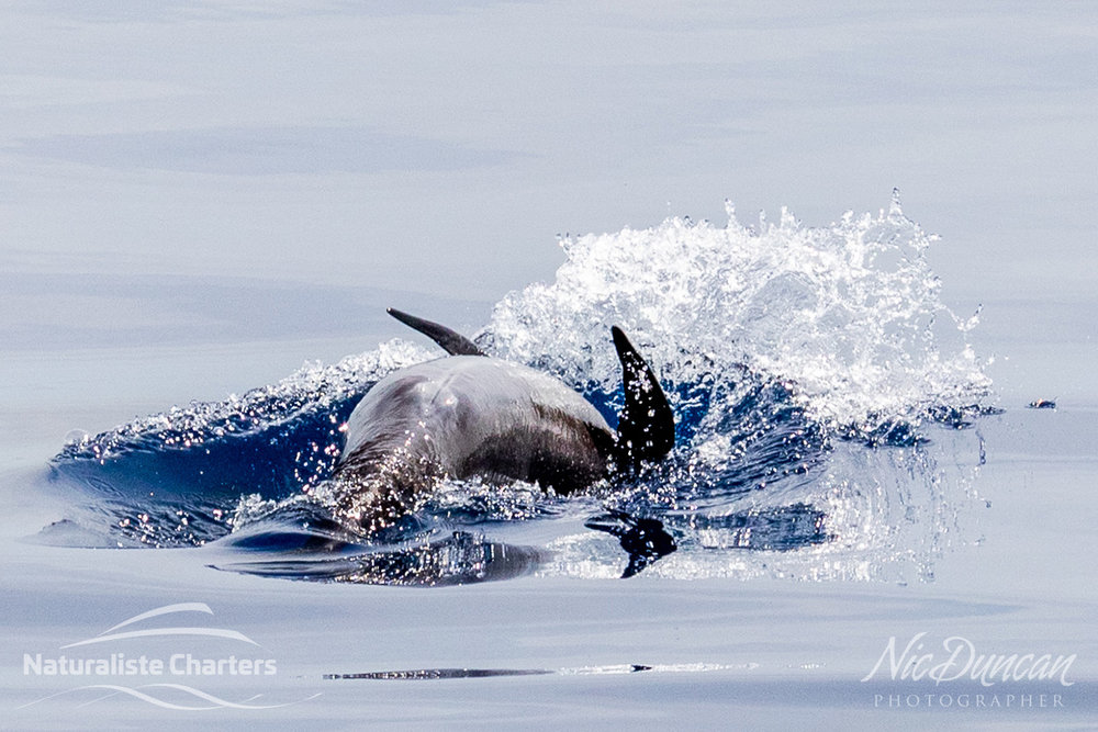 Long finned pilot whale calf doing backflips and delighting the Naturaliste Charters passengers