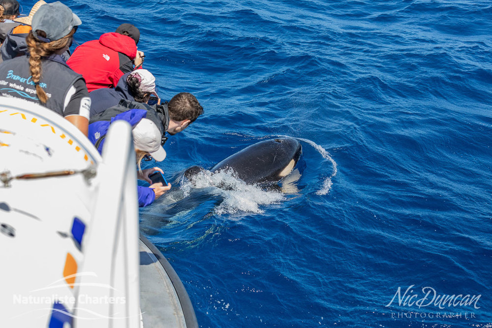 Orca delighting the passengers at the bow of the Naturaliste Charters vessel