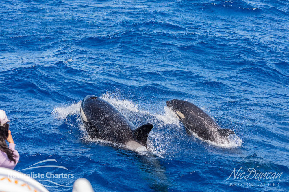 Killer whales alongside the Naturaliste Charters boat out at the Bremer Canyon off the south coast of Western Australia