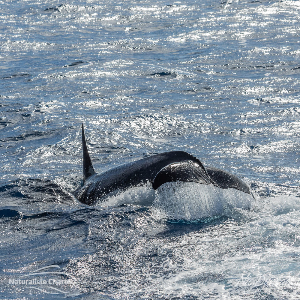 Dorsal fin and tail of a killer whale (also known as an orca) in the Southern Ocean off Bremer Bay, Western Australia