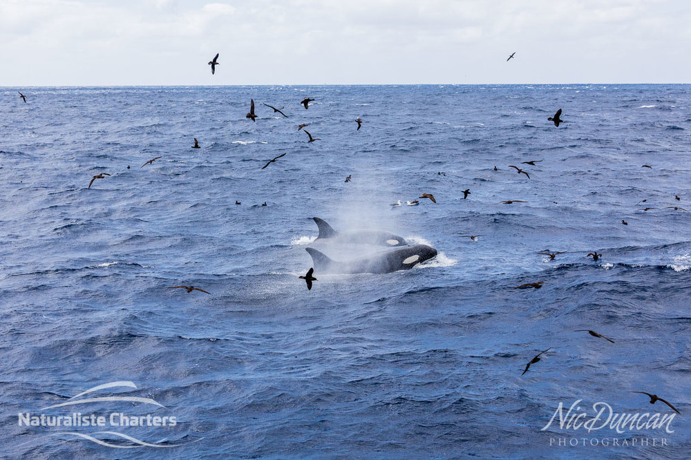 Swirls of seabirds and surging orcas (killer whales) hunting their prey in the Southern Ocean (Bremer Canyon). Taken from the Naturaliste Charters vessel