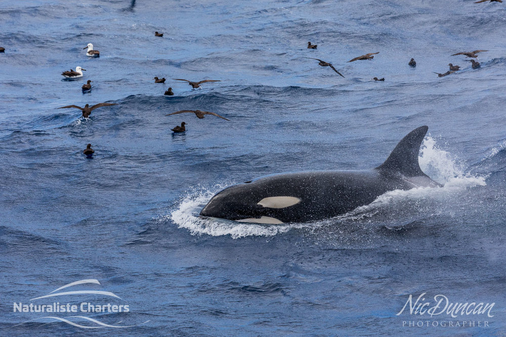 Seabirds and orca hunting its prey in the Bremer Canyon