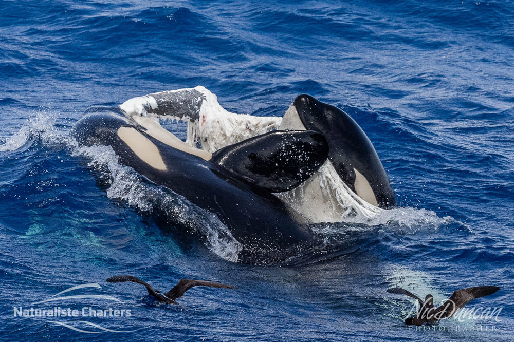 Two killer whales or orcas tearing apart their prey.
