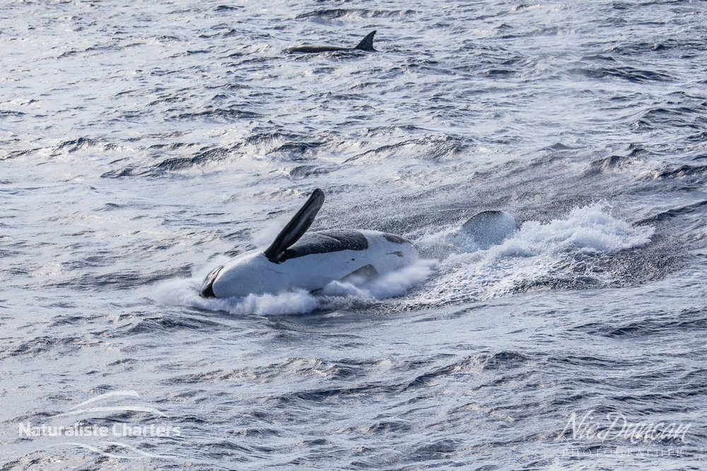 Killer whale landing back in the Southern Ocean after breaching