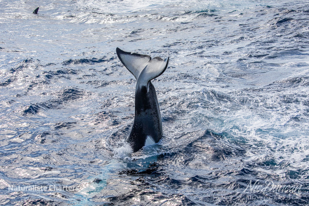 Killer whale tail slap in the Southern Ocean WA
