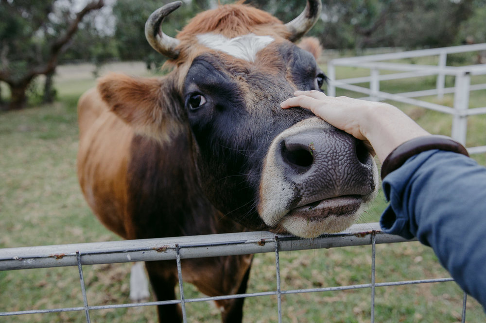 Nutmeg, the pet jersey cow