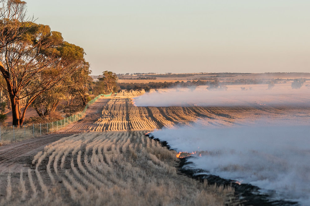 The weather and wind direction dictate the timing Windrow burning in the Wheatbelt