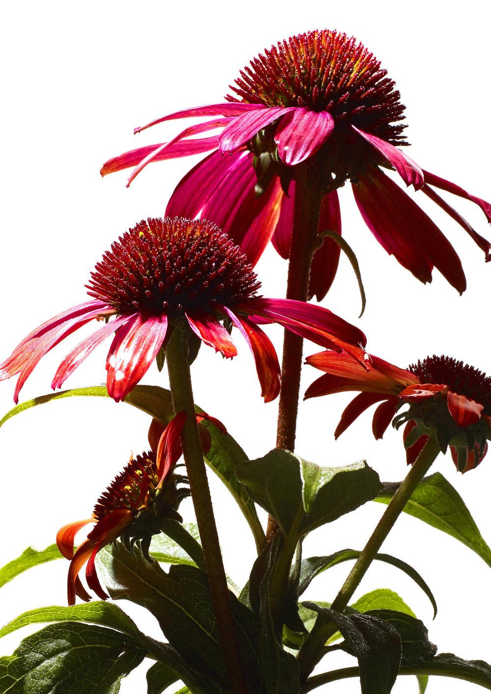 20160806_Flower42933.jpg