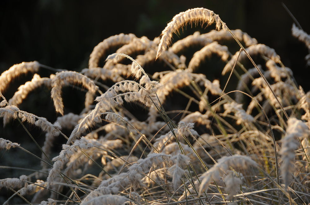Pennisetum orientale in the morning frost.jpg