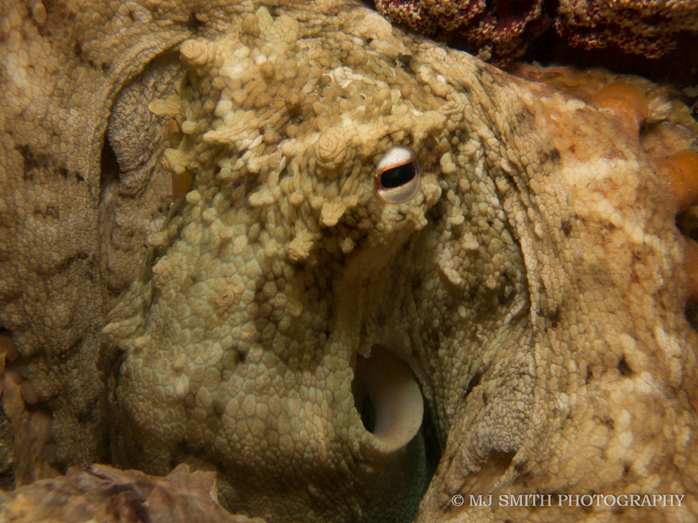 Common Sydney Octopus