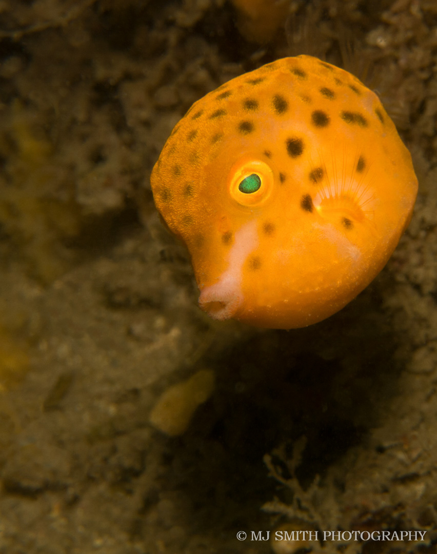 Eastern smooth boxfish (juvenile)