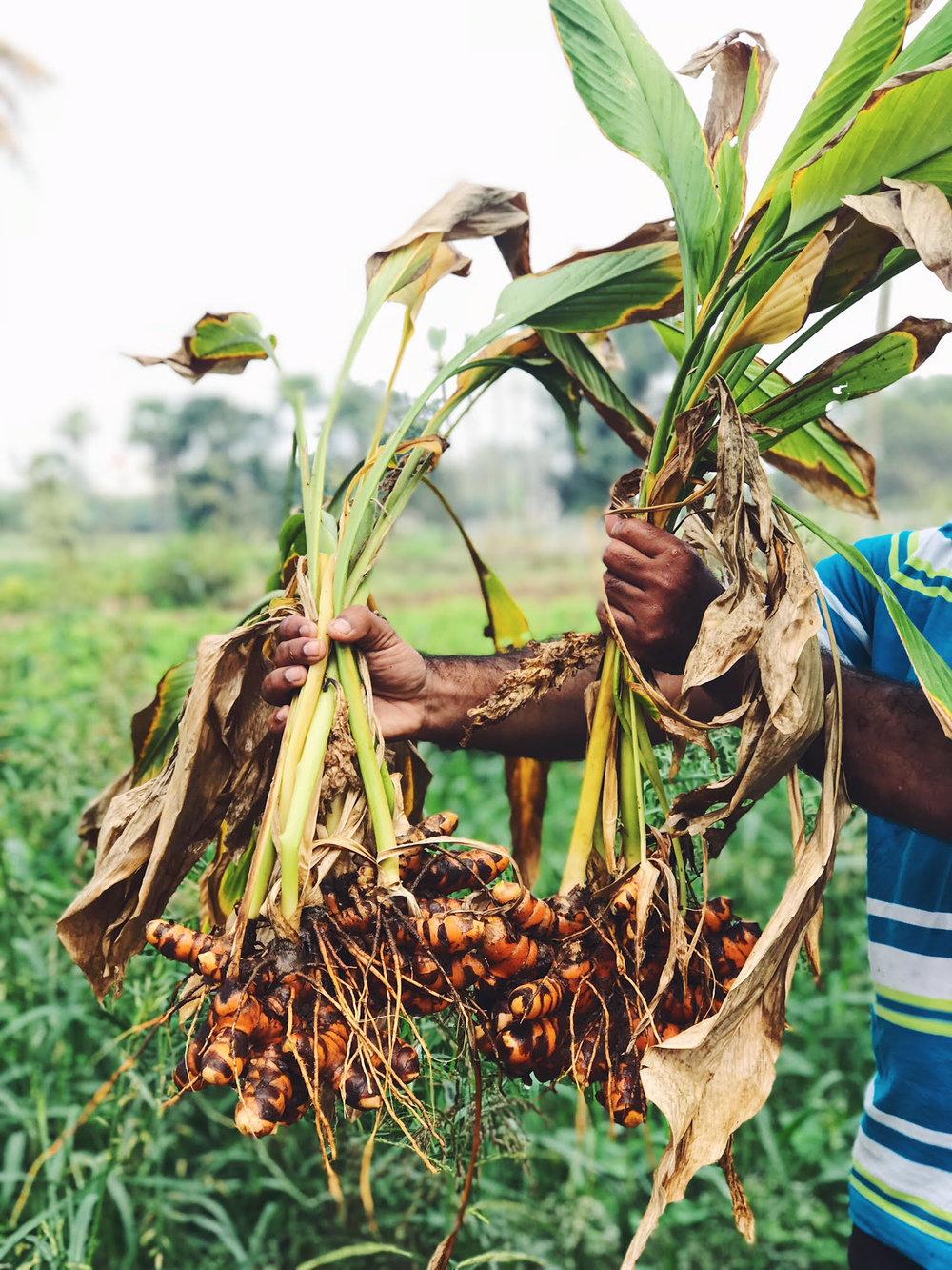 Turmeric Harvest 2018; Vijayawada, Andhra Pradesh