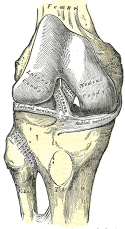 As you can see in this picture, the two ligaments anchoring the two sides of the knee together in the center of it have an X shape to them. When you create external rotation in a knee, the ligaments stay tight, keeping the knee stable. However, if you internally rotate the knee, these two ligaments will unwind, adding significantly more stress to the knee.