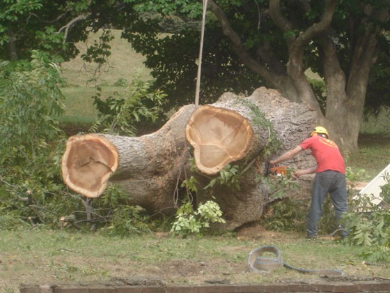 Pecan tree being cut up.jpg
