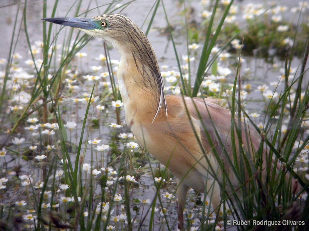 Squacco Heron_1.jpg