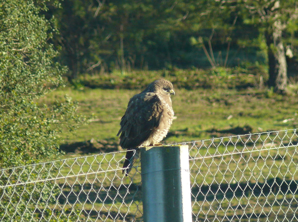 Busardo ratonero - Common Buzzard - Buteo buteo 28-12-2012 11-05-41.JPG