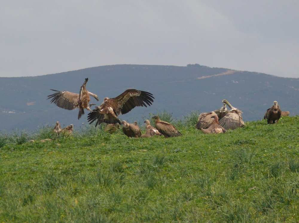 Griffon Vultures at La Janda.jpg