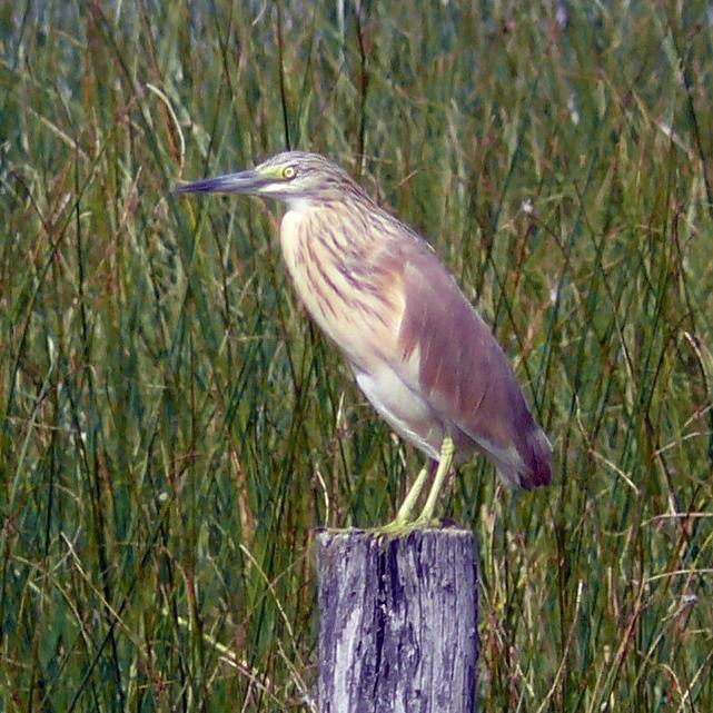 Squacco Heron.jpg