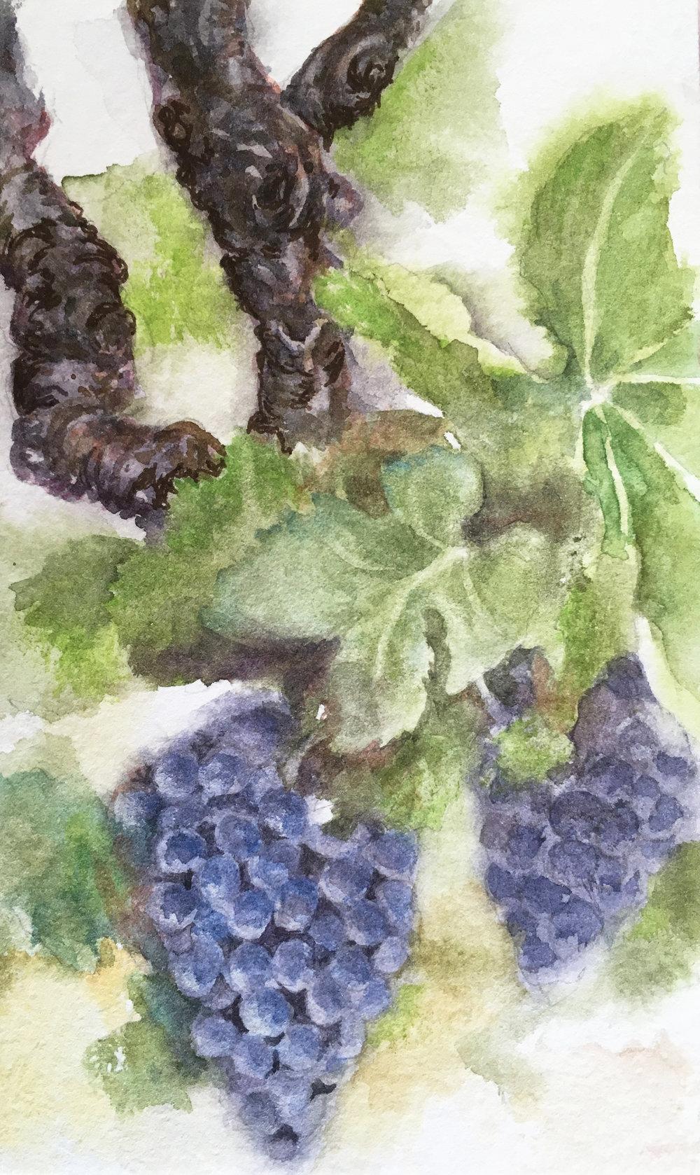 grapes on the vine.jpg