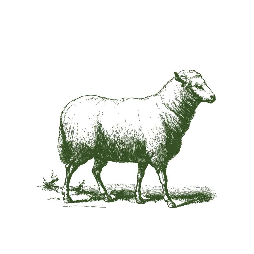 Grass fed Lamb - Sheep contribute similarly in rotational grazing systems. By adding multiple animal species to our pastures, we increase our farm's biodiversity. Sheep tend to eat what cattle may consider unpalatable, thereby utilizing more forage and balancing our multispecies pastures. Sheep and cattle are also end hosts for many of each other's parasites. This, along with proper animal nutrition and holistic management practices, is how we raise our animals without any pharmaceuticals.Lamb is available as individual cuts and pre-order by the half or whole lamb. Contact us if you're interested in wool.