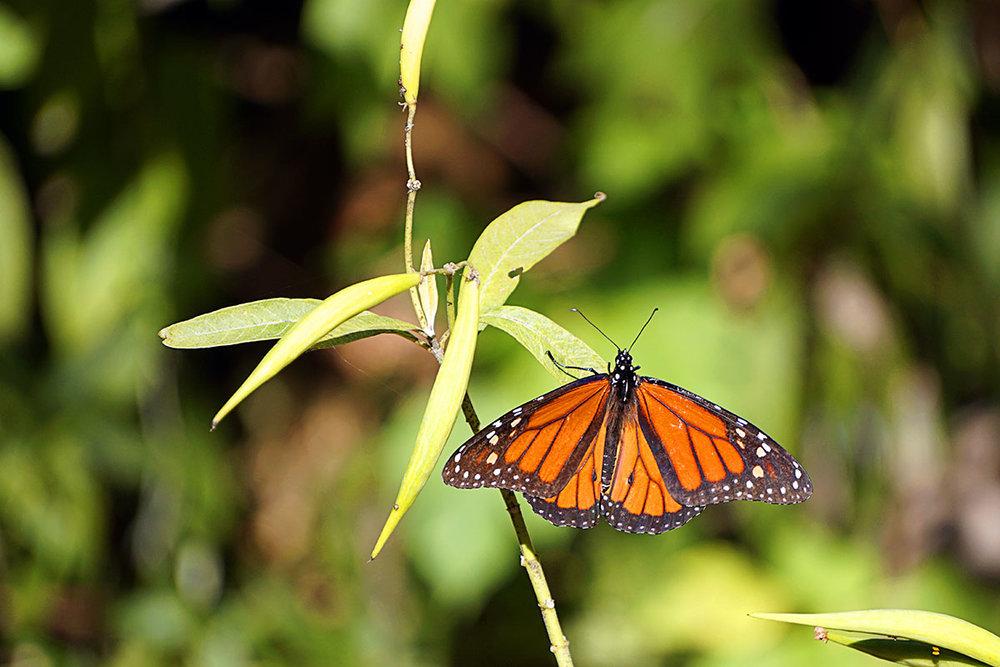 monarch-butterfly-sunken-gardens.jpg