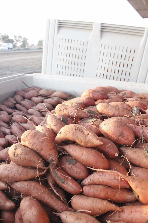 Sweet potato bins