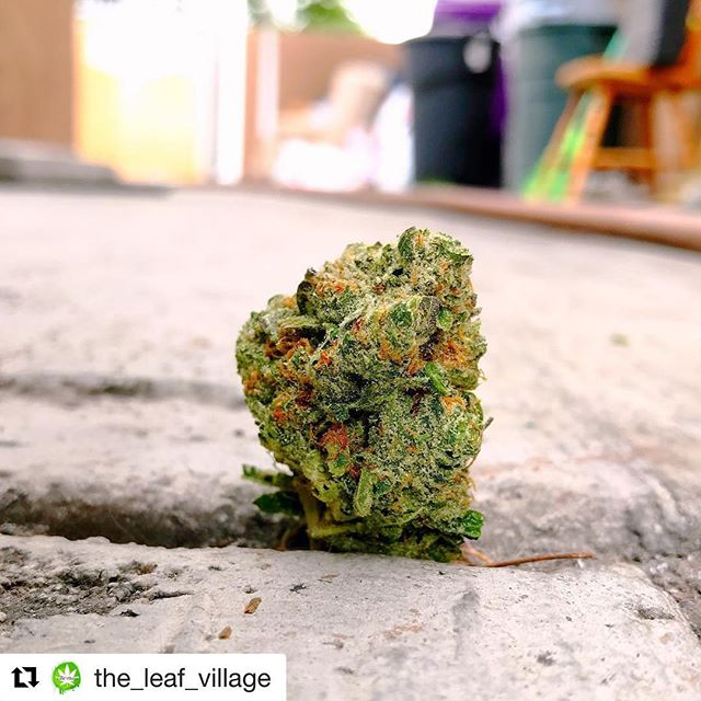 If you're in Long Beach hit up our friends @the_leaf_village fast and get some 24k delivered straight to your door. #treatyoself  Repost @the_leaf_village (@get_repost) The rose that grew from the concrete. Thanks @organixxdistribution for dropping by and leaving us with this amazing sticky icky stinky inky flower! 24 Karat OG is AMAZING!!!!! ・・・ . . . . . #organixx #weedofig #kush #stonerchick #w420 #cannabis #420girls #weedgram #f4f #bud #dankshots420 #mmj #wedontsmokethesame #cannabisculture #prop215 #420photography #cannabisphotography #stonerday #marihuana #pot #nugshot #420art #24k #stickyicky #deliveryservice #flowers #dankshots #frosty #longbeach