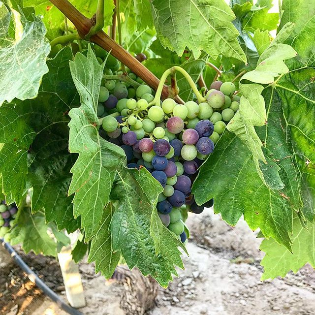We know you're seeing lots of veraison pictures in your feed, but we just can't help it! This change in color signals that the vine is ready to start focusing solely on ripening the fruit, and means harvest is only about a month away! . . . #clockspring #vines #cabernetsauvignon #winelover #zeila #makingwineco #amadorwine #sierrafoothills #petitesirah #tempranillo #petitesirah #winecountry #vineyard #vines