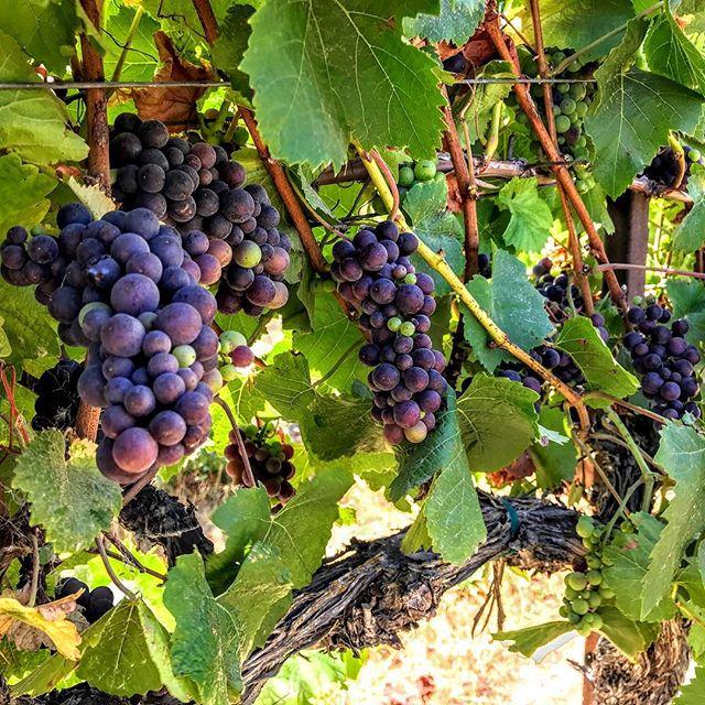 Almost that time! . . . #harvest #clockspring #vines #cabernetsauvignon #winelover #zeila #makingwineco #amadorwine #sierrafoothills #zinfandel #tempranillo #petitesirah #winecountry #vintage18