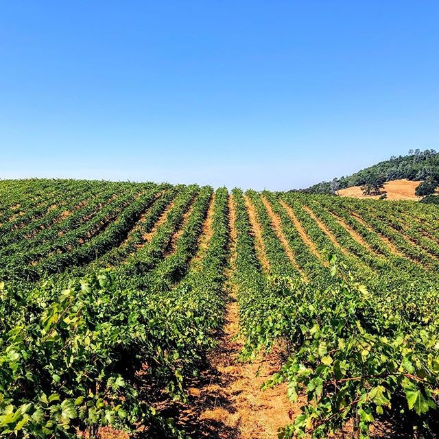 Happy Labor Day Weekend! . . . #clockspring #vines #instawine #sierrafoothills #amadorwine #zeila #cabernet #petitesirah #tempranillo #vineyard #wine #redwine