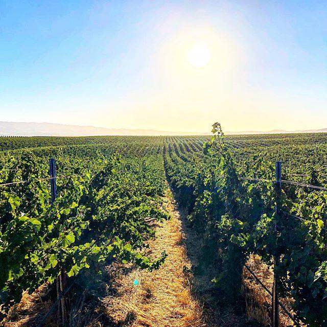 Friday vibes... . . . #clockspring #vines #instawine #sierrafoothills #makingwineco #zeila #vineyard #wine #winelover