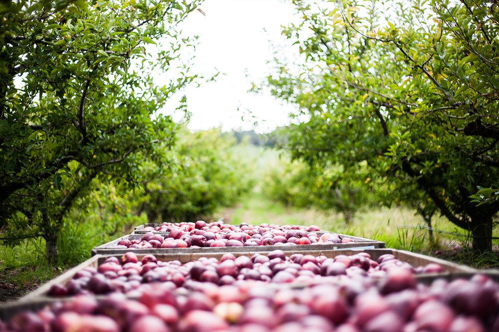 SF Apples in Bins Orchard web.jpg