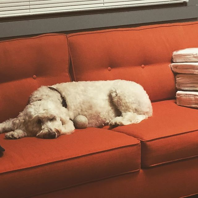 Alice, the therapy dog, resting while we get settled in the new Portland Mental Wellness office. Opening this week! #portland #pdx #portlandoregon #mentalhealth #portlandmentawellness #therapy #counseling #psychology