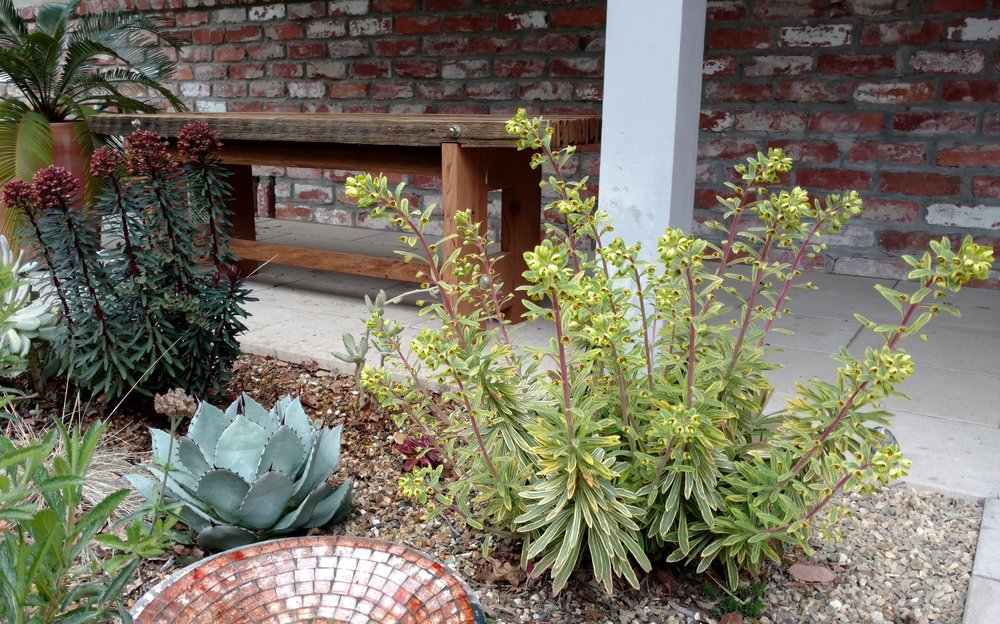 Euphorbia 'Blackbird' and 'Ascot Rainbow' by the front door's custom bench