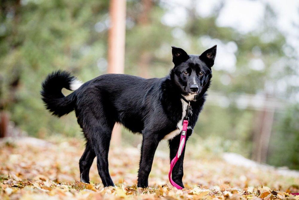 Foderhund: Sárgge, ceahpes sárggis se47969/2017  Nätt och välmusklad tik med mycket energi, inköpt från finland efter inmönstrad tik och på helfoder avtal hos renskötare i sirges sameby just nu på inlärning i renskötselarbetet.