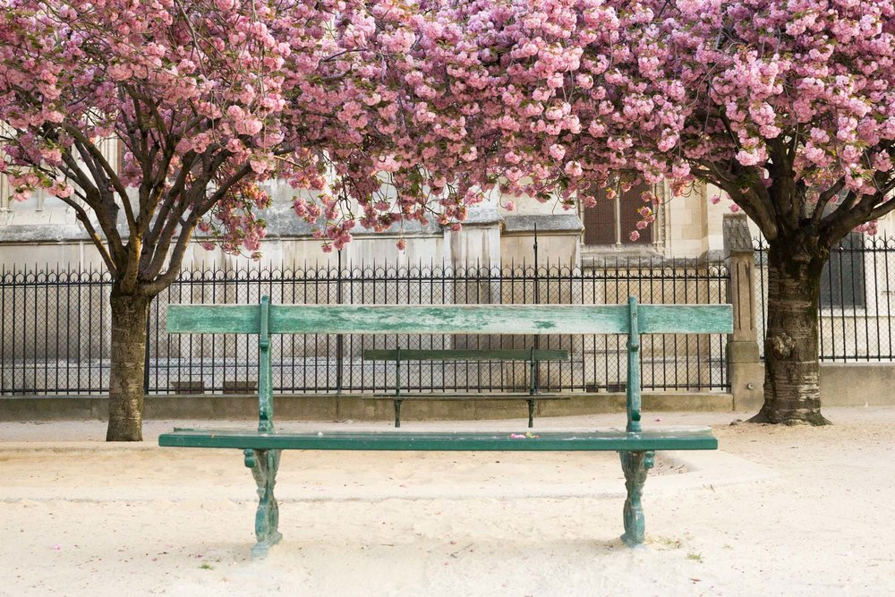 Discover where and when to find cherry blossoms with this floral filled, Paris travel guide. | Square Jean-XXIII - Cathédrale Notre-Dame de Paris