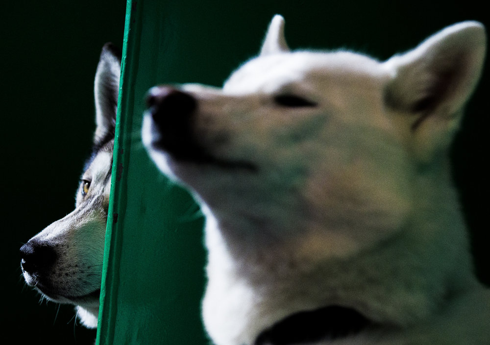 Husky dogs rest in their pens at the second day of Crufts at the NEC in Birmingham.