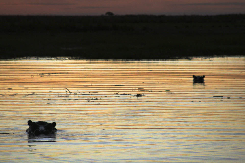 Hippos on the River Zambezi, Zambia