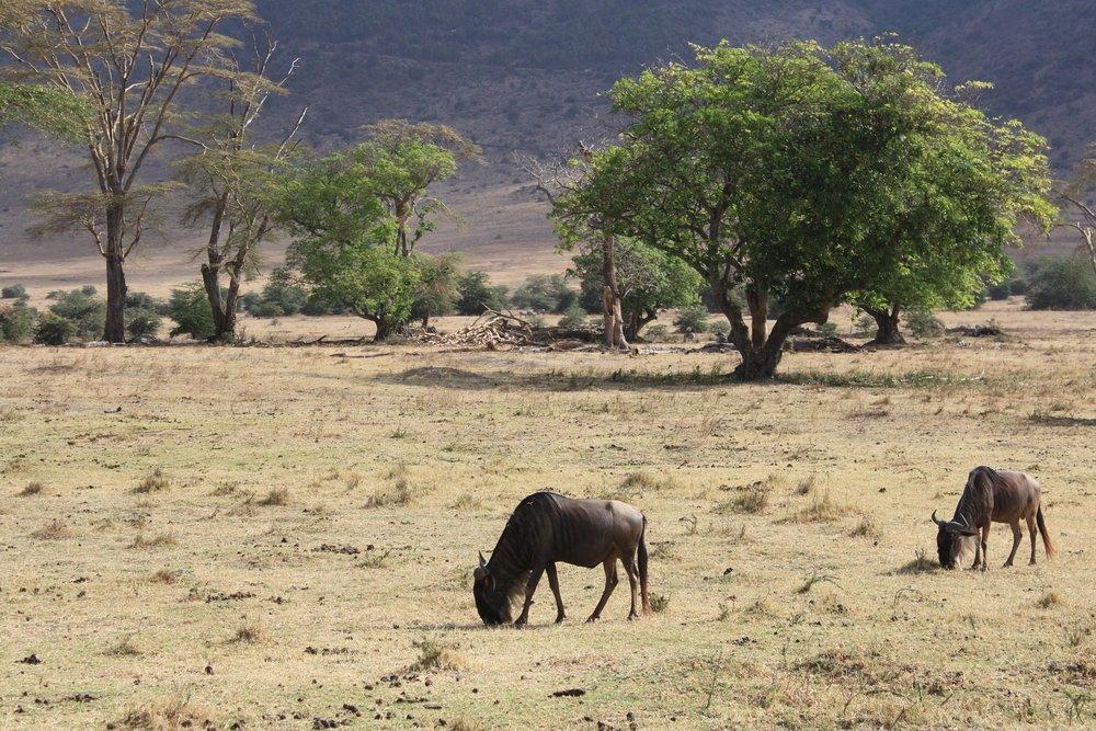 wildebeest-1250334_1920.jpg