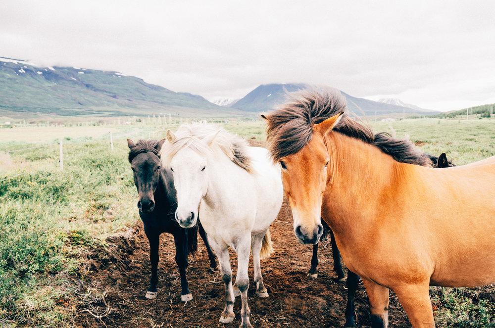 horses iceland - jay mantri.jpg
