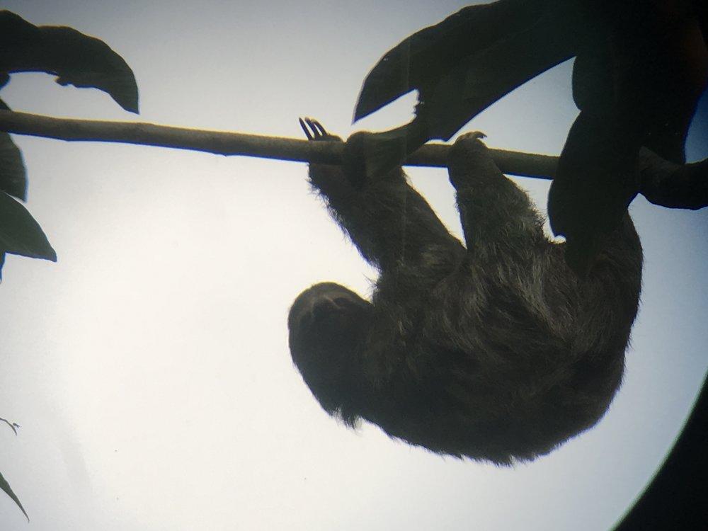 Sloth in La Fortuna