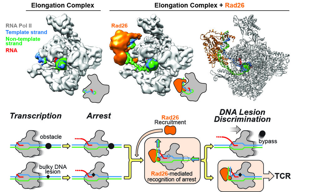 CSB/Rad26 uses its Swi2/Snf2 translocase activity to help RNA Polymerase II overcome obstacles that do not need to be repaired, but cannot help it bypass DNA damage.  The top row shows cryo-EM maps for an Elongation Complex alone (left) and bound to Rad26 (middle). The atomic model for the complex is shown to the right. Below is our proposed model for TCR initiation. Rad26 is recruited to stalled RNPII's, where its translocase activity can help it bypass certain obstacles. Because Rad26 cannot help RNPII bypass DNA damage, we propose that the unusual structure of the complex (with the Rad26-induced bend in the DNA behind the polymerase) would recruit TCR factors for DNA repair.