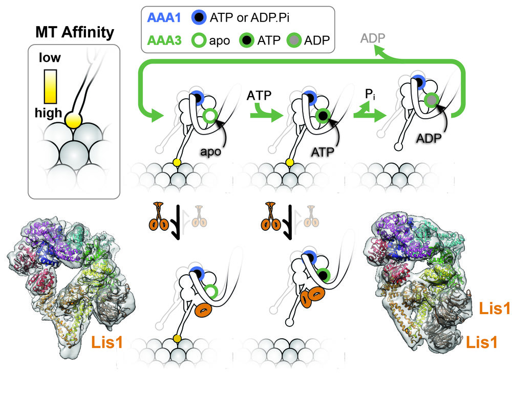 Lis1 regulates dynein in opposing ways.  Lis1 can regulate dynein in opposing ways by binding either one or two WD40s to the motor. This binding is regulated by the nucleotide state of dynein's AAA3 (top diagram). When AAA3 has no nucleotide, a single WD40 binds at AAA4 and induces high affinity for the microtubule. When AAA3 contains ATP, a second WD40 binds to dynein's stalk (as well as to the other WD40) and this state induces low affinity for the microtubule. The cryo-EM structures of the two states (with atomic models fitted in) are shown bottom left (one WD40 bound) and bottom right (two WD40s bound).